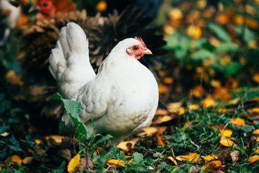 4 conseils pour bien prendre soin de ses poules en automne