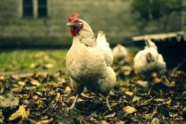 Comment bien nourrir ses poules pour affronter l'automne