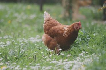 Les plantes toxiques pour la poule