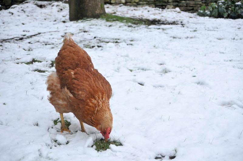 Faut-il aménager son poulailler pour protéger les poules en hiver ?