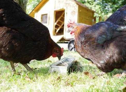 Quarante poules pour des déchets poids plume