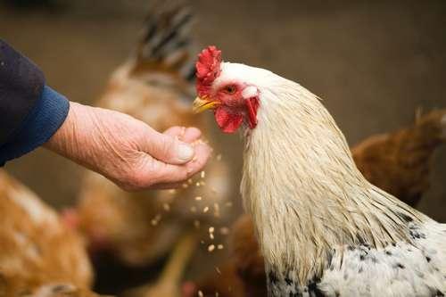 bien nourrir ses poules en hiver