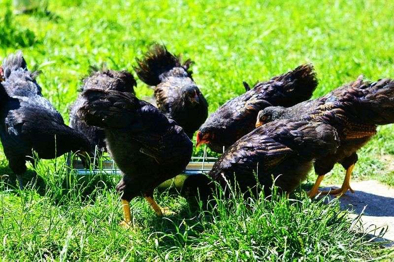 Alimentation pour poules : conseils pour bien nourrir ses poules