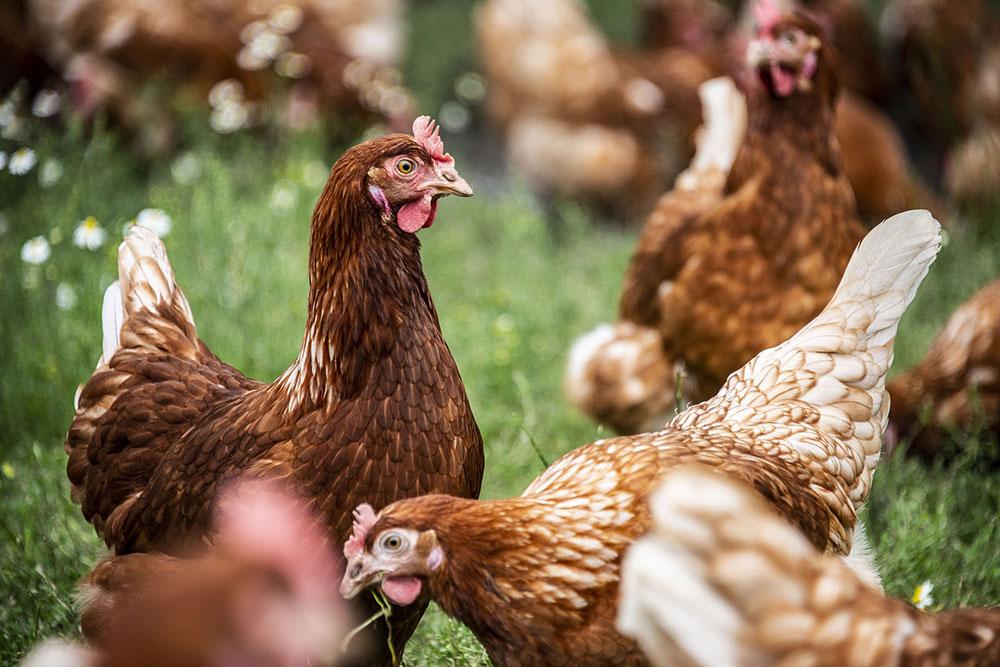 Elevage de volailles : Comment nourrir mes poules ?