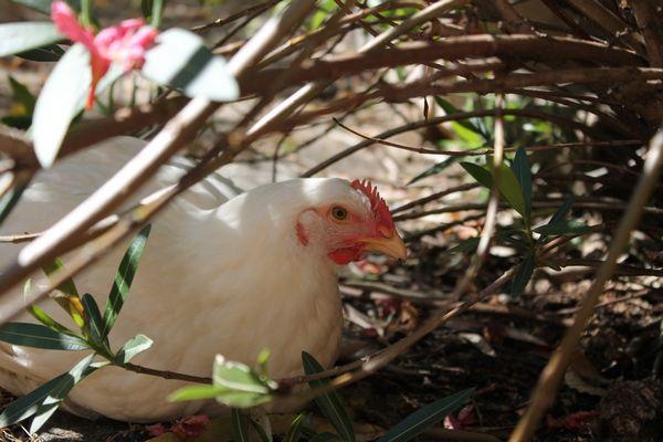 comment repérer coup de chaud chez la poule