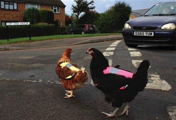 Blog securite routiere le gilet de s curit pour poules - Poules en ville reglementation ...