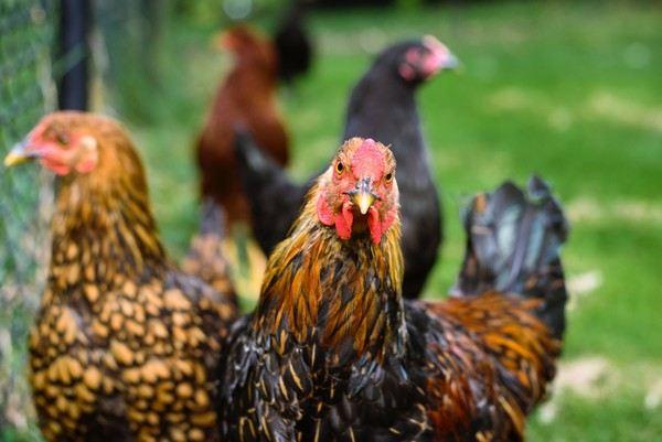 Combien de poules pour avoir des oeufs