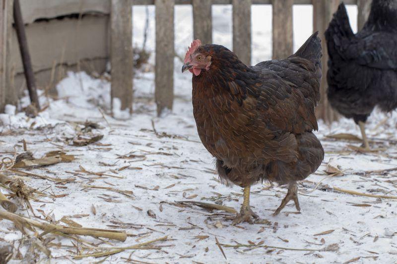 poule dans la neige