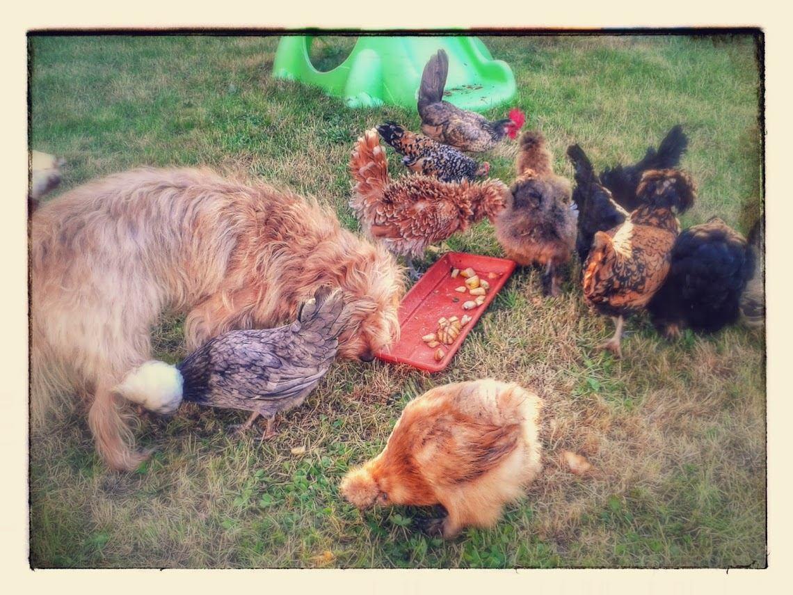 poules et chien