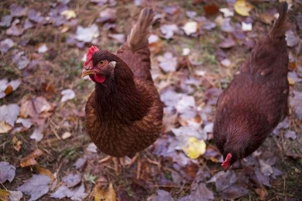 alimentation spéciale automne pour poule