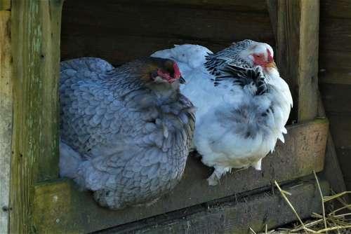 chauffage entre poules