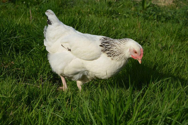Quelles poules pondeuses dans son poulailler - Image de poule ...